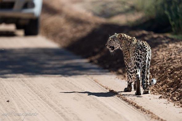 хищник пустыни калахари прошел несколько сотен метров вдоль дороги