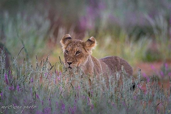 пучки травы обеспечивают прикрытие для больших кошек