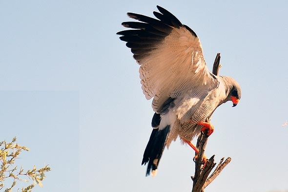 славу парка кгалагади составляют хищные птицы