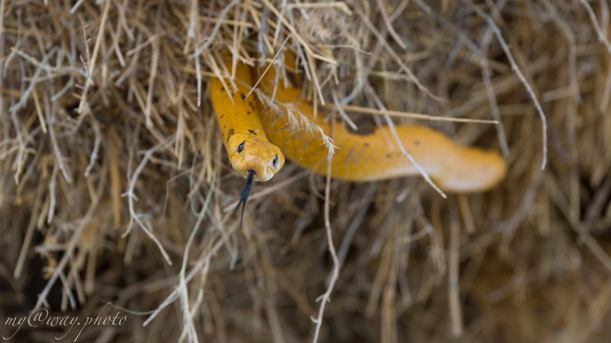 золотая капская кобра