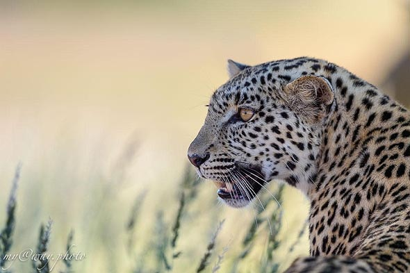леопард в парке кгалагади