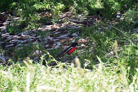 красная грудка  и черная спинка красногрудый певчий сорокопут
