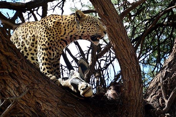 леопард с добычей на дереве