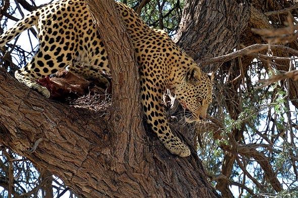 леопард бросил есть и грациозно спрыгнул с дерева