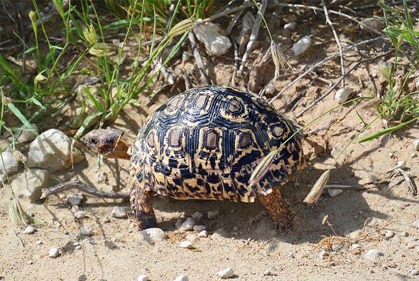 симпатичная леопардовая черепаха