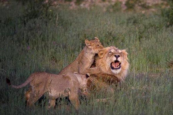 лев и львята играют