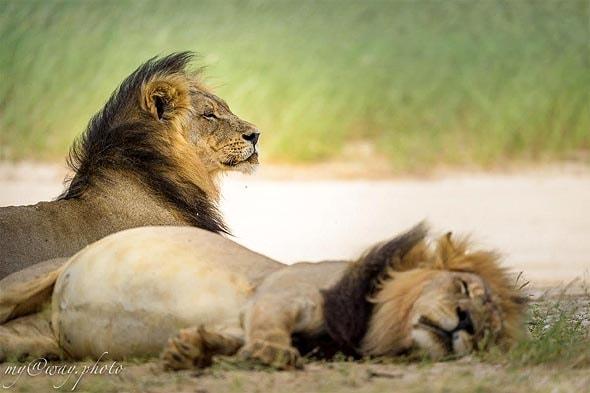 лев с черной гривой и его спящий товарищ