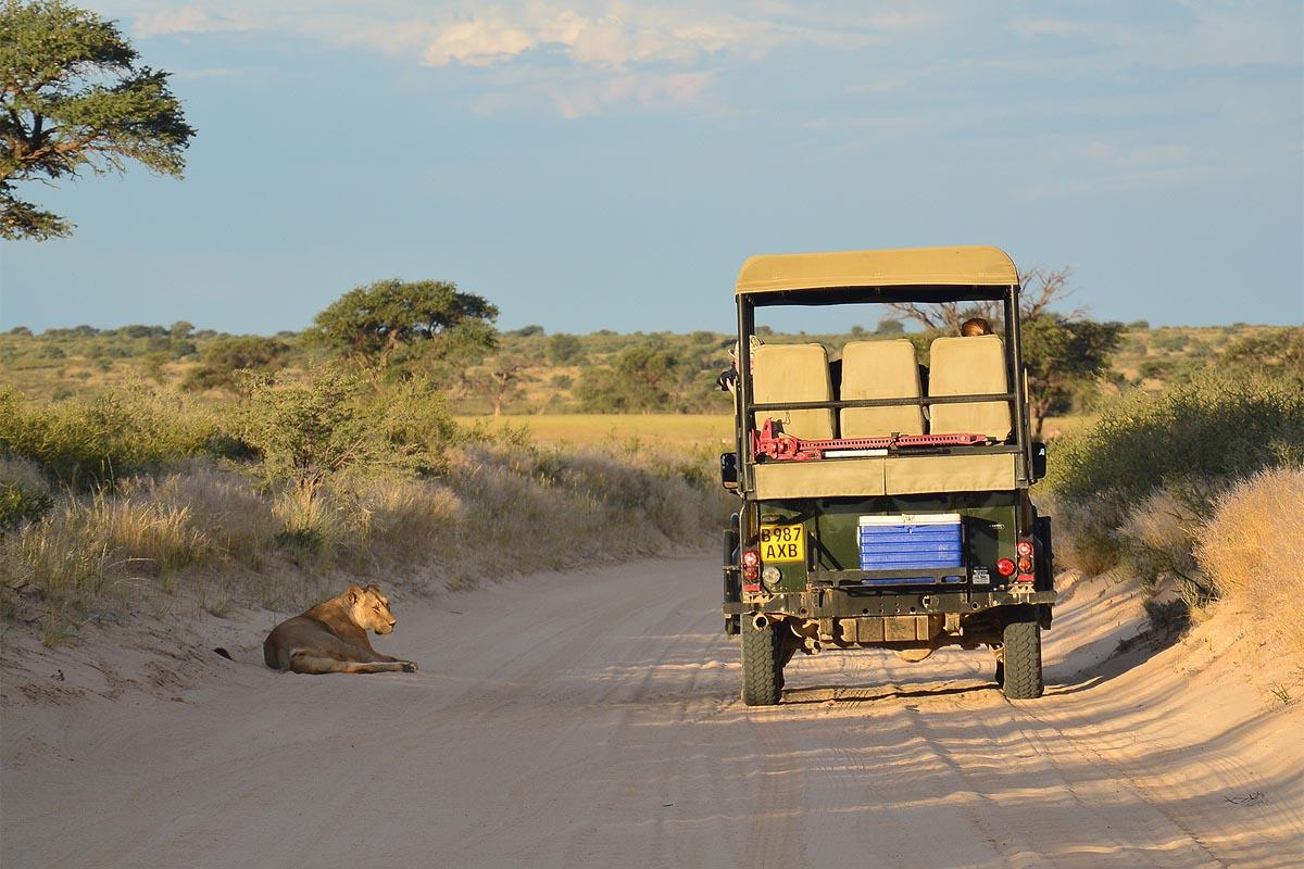 лев близко у машины рейнджера