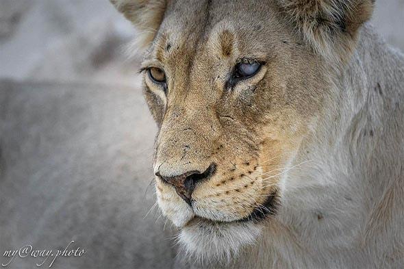 лев в парке кгалагади