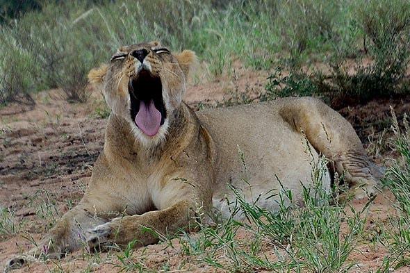 лвьвица лежала и зевала у них сейчас вечер