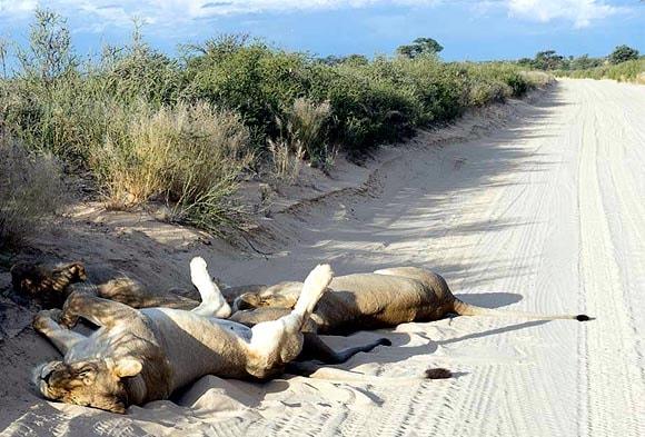 львицы лежат животами к вверху как домашние кошки