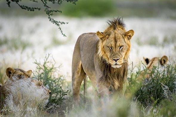 львиный прайд львы опасные хищники