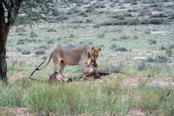 львы и хомячат орикса