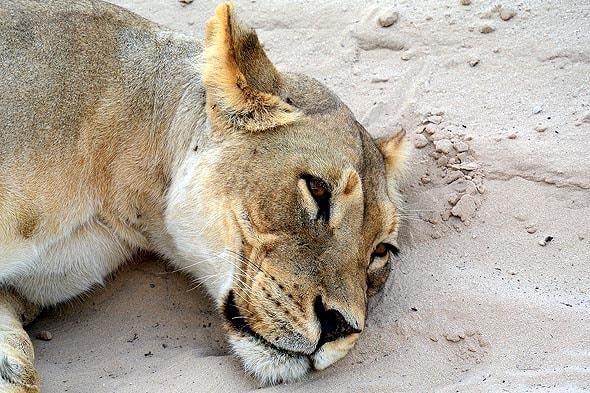черногривые львы калахари