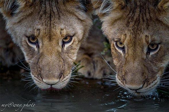 львята напились воды