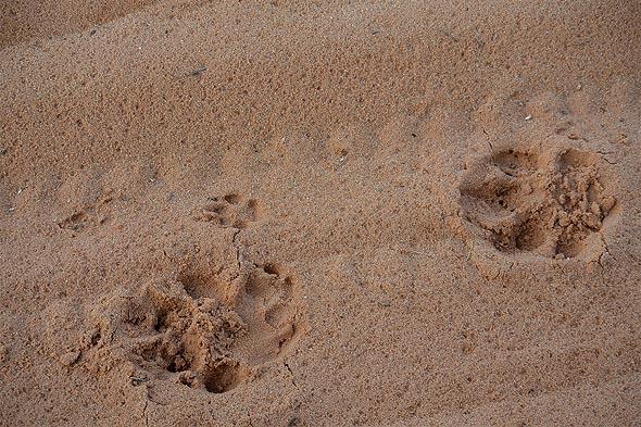 это следы львят маленькие лапки