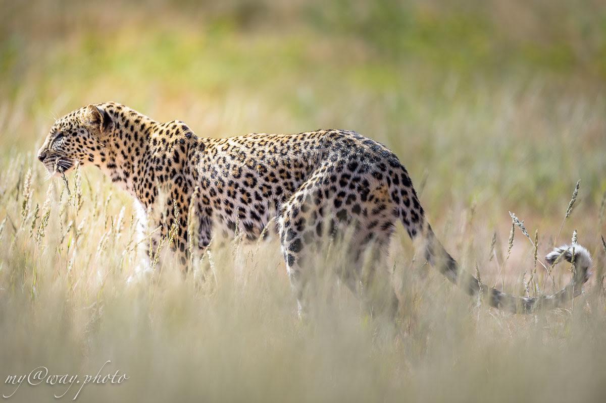 наш красавец леопард назывался masego