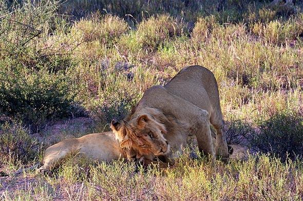 лев львица и любовь