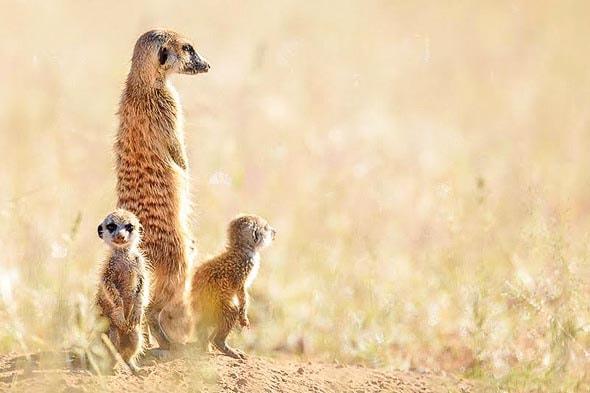 очаровательные создания сурикаты стоят взрослые и мелочь