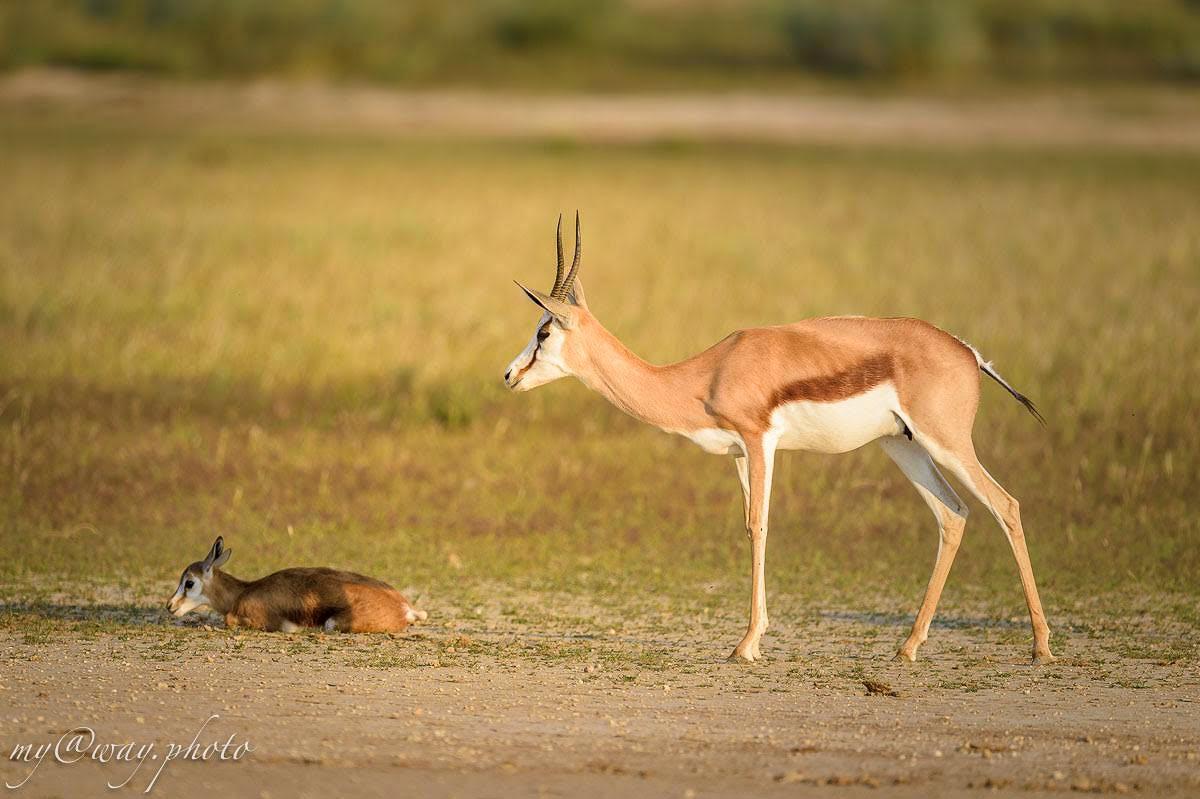 антилопа спрингбок и новорожденный детеныш