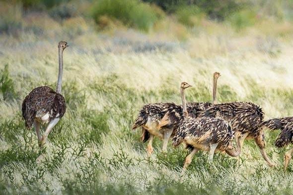 пушистые страусы с нескладными беби