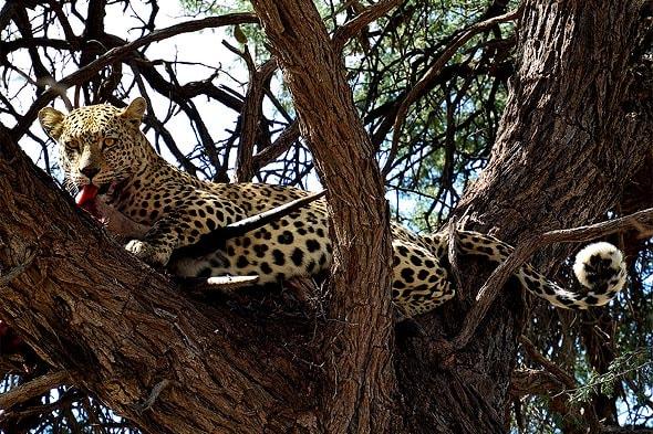 пятнистый леопард лежит на ветке