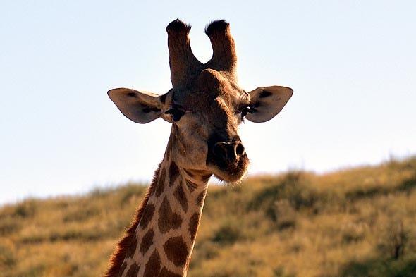 рассмотреть шерстинки на вершинах небольших рожек жирафа