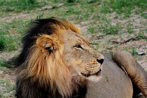 лев невозбранно разгуливающий в округе