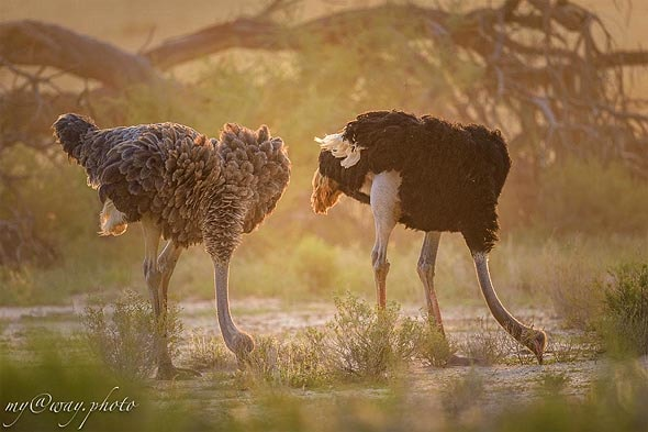 страусы танцуют кругами