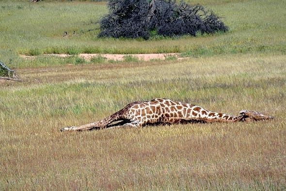 лежал убитый жираф