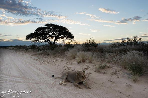 черногривый лев в последних отсветах дня