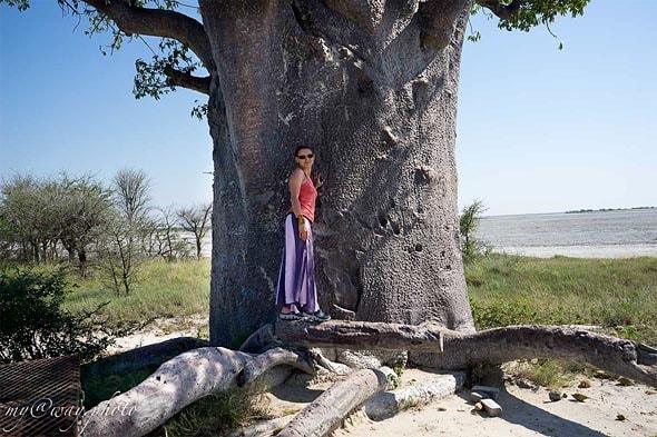корни баобаба адансония дигитата