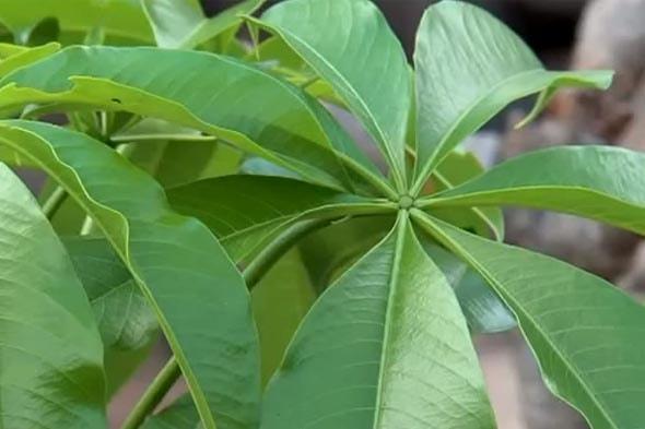 адансония пальчатая листья зрелого растения