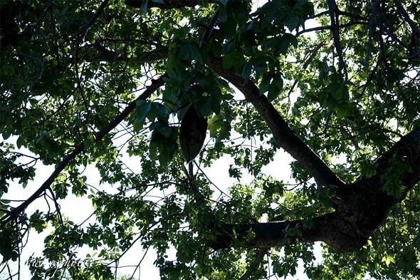 продолговатые плоды баобаба на дереве