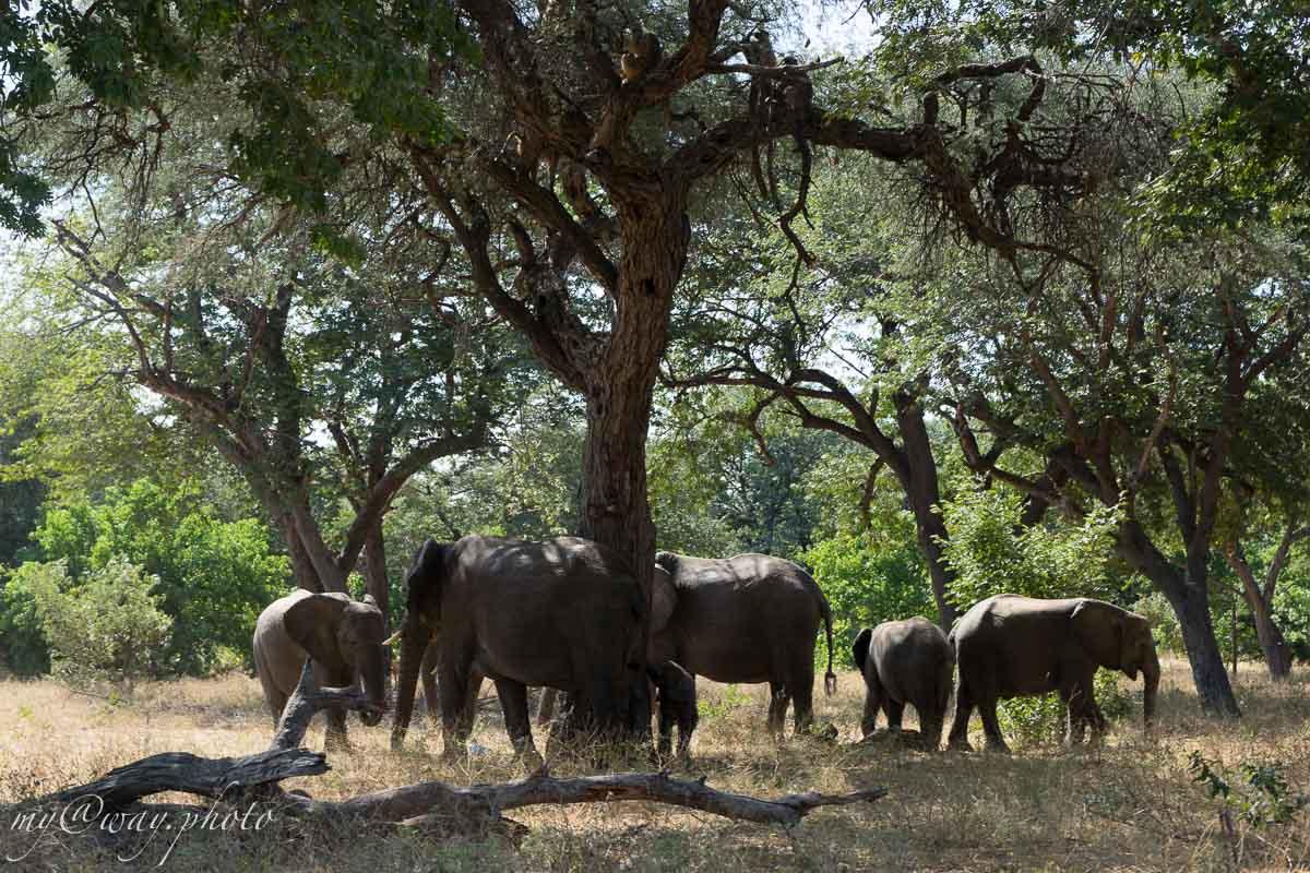 слон с удовольствием почесывает бок о дерево