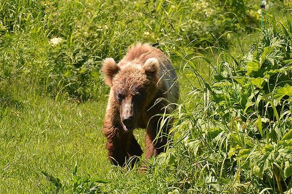 медведь зверь серьезный