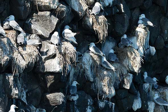 на скалистых кекурах выводят птенцов