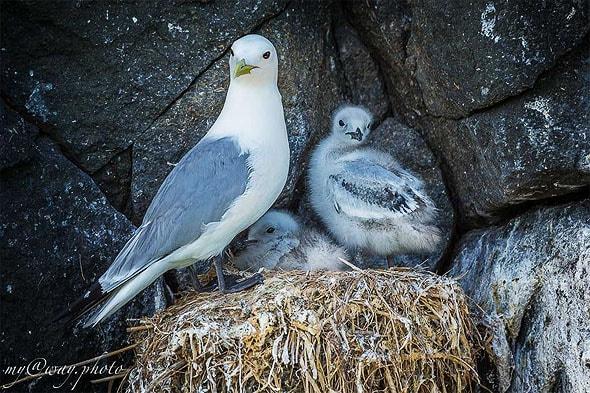 чайка с птенцами