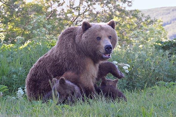 косолапые приходят вместе с медвежатами
