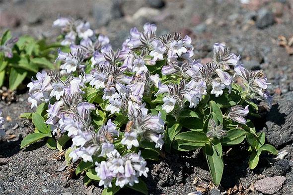 цветы у авачинского перевала