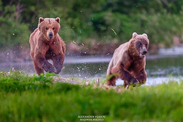 бурый медведь подозреваем в недобрых намерениях курильское озеро на камчатке