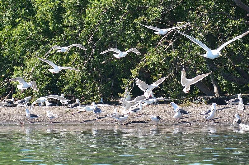 острова курильском озера безраздельная вотчина тихоокеанских чаек