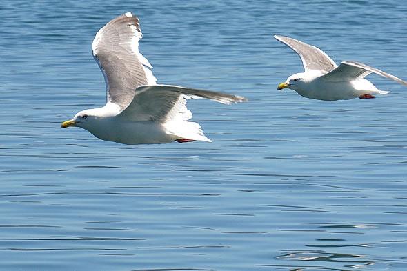 чайки на курильском озере