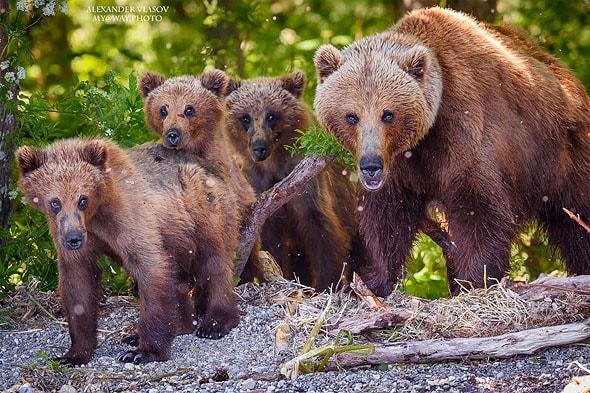 главные герои камчатки бурые медведи