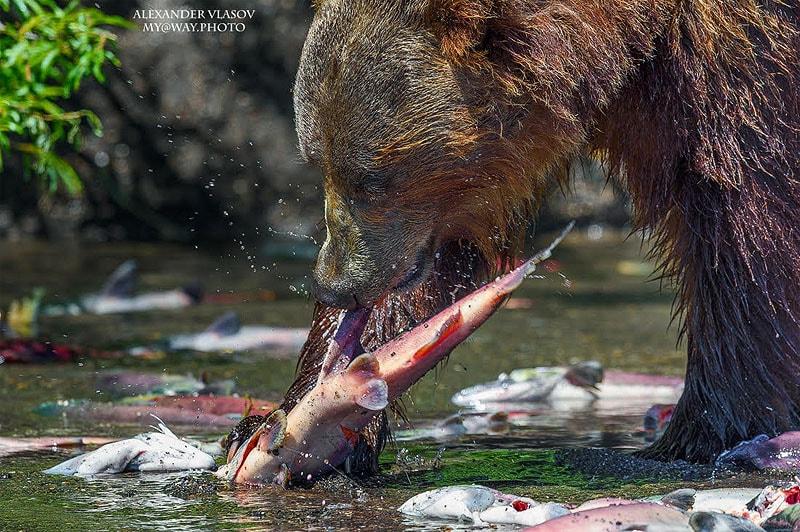 курильское озеро косолапым рыболовам удается поесть нерки вдоволь