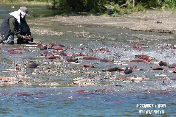 лосось идет на нерест по серебристой ленте озерной