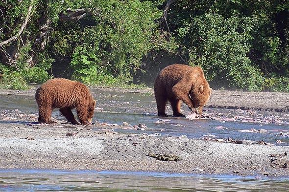 бурые медведи едят лосося они знают толк в красной рыбе