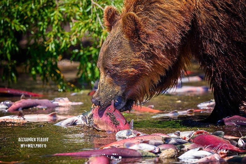 мишка объедается лососем
