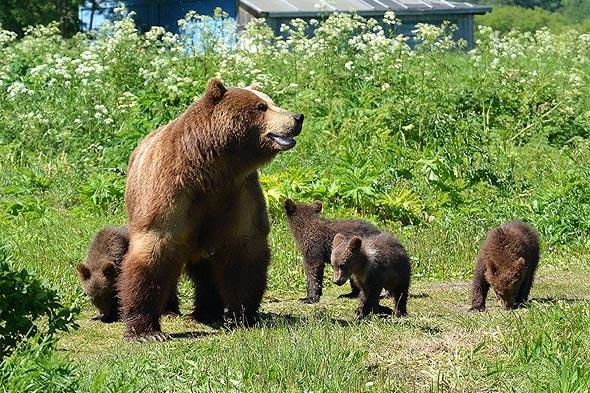 курильское озеро медведица с четырьмя маленькими медвежатами