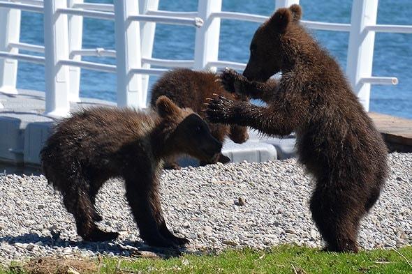 медвежата играют какие славные